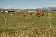 Trawa karmił krowy w Południowym Alberta, Kanada obrazy royalty free