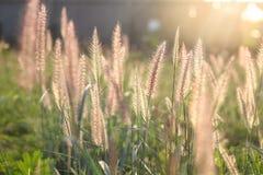 Trawa kwiat Zdjęcie Stock