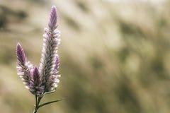Trawa kwiat przy zmierzchem z halnym scenerii tłem w zielonej naturze, żółty kwiat trawy wpływu światło słoneczne zdjęcia stock