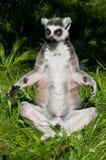 trawa lemur zdjęcie stock