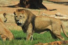 trawa lew stał Zdjęcia Royalty Free
