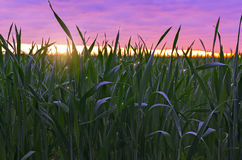 Trawa na tle wschód słońca Zdjęcie Stock