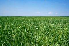 Trawa na zielonej łące przeciw niebieskiemu niebu Obraz Stock