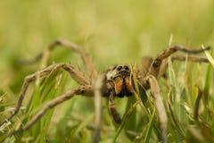 trawa pająk Obraz Stock