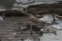 Trawa pająk Obraz Royalty Free