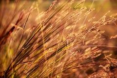 Trawa pod jaskrawym zmierzchem w polu Zdjęcia Stock