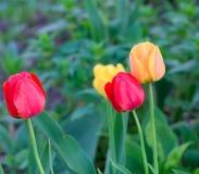 trawa tulipany zdjęcia royalty free