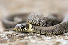 Trawa wąż Obraz Royalty Free