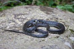Trawa wąż Zdjęcie Royalty Free