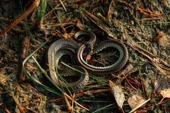 Trawa wąż, czasem nazwany wodny wąż, chuje w trawie Jadowici węże, fauny zdjęcia stock