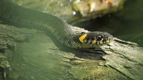 Trawa wąż na nazwie użytkownika woda Upierścieniony wąż Wodny wąż gad reptilian obraz royalty free