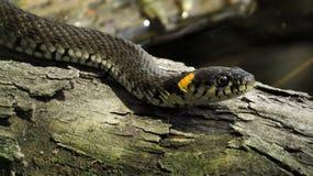 Trawa wąż na nazwie użytkownika woda Upierścieniony wąż Wodny wąż gad reptilian obrazy stock