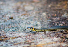 Trawa wąż - Natrix natrix Zdjęcie Stock