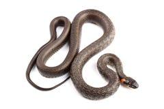 Trawa wąż odizolowywający na bielu (Natrix natrix) Zdjęcia Royalty Free