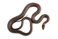 Trawa wąż odizolowywający na bielu (Natrix natrix) Fotografia Stock