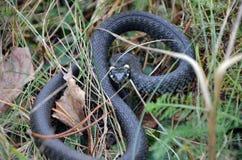 Trawa wąż w dzikiej naturze Fotografia Stock