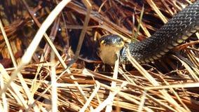 Trawa wąż w dzikim zbiory