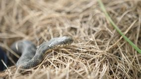 Trawa węża Natrix Natrix Adder głowy dźwigania Defensiveness W Lasowej Wczesnej wiosny Lasowym wężu Rusza się zwitkę zbiory