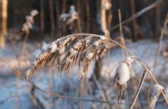 Trawa w śniegu Obrazy Royalty Free