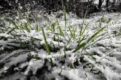Trawa w śniegu Zdjęcia Stock