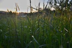 Trawa w ogródzie przy zmierzchem Fotografia Stock