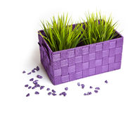Trawa w purpurowym flowerpot z kamieniami Fotografia Royalty Free