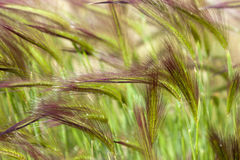 Trawa w wiatrze Obraz Stock