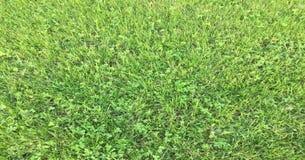 Trawa Zieleń pojedynczy białe tło trawy Naturalna zielonej trawy tekstura, Naturalny zielonej trawy tło dla projekta z kopii prze Zdjęcie Royalty Free