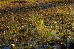 Trawiasty bagno zdjęcie stock