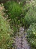 Trawiasty zielony rzeczny wodołaz Fotografia Royalty Free