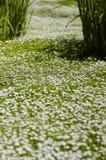 trawnik rumianek obrazy royalty free