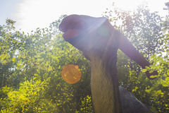 Trawożerny dinosaur - parasaurolophus Fotografia Royalty Free
