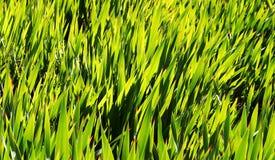 trawy Obrazy Stock