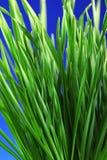 trawy błękitny zieleń fotografia stock