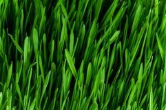 trawy banatka Zdjęcie Stock
