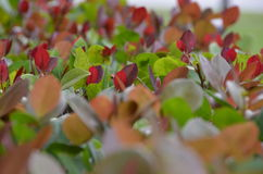 Trawy czerwień Zdjęcie Royalty Free
