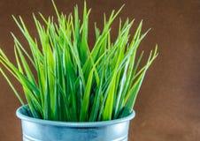 trawy dekoracyjna zieleń Fotografia Royalty Free