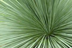 Trawy drzewo lub Czarny chłopiec Zdjęcie Stock
