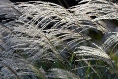 Trawy głowa w jesieni Zdjęcia Stock