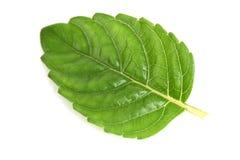 Trawy galareta, liście (Mesona chinensis) Zdjęcia Royalty Free