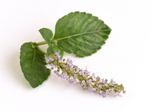 Trawy galareta, warzywo galareta (Mesona chinensis) Obrazy Royalty Free
