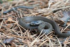 trawy grey wąż Obrazy Stock