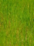 trawy jaskrawy zieleń Fotografia Royalty Free