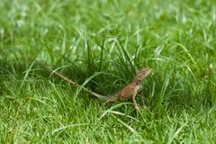 trawy jaszczurka Obrazy Royalty Free