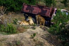 trawy kłamstwa lwicy dwa obraz royalty free