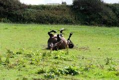 trawy konia rolki Zdjęcia Royalty Free