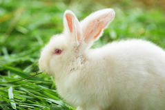 trawy królika biel Zdjęcie Stock
