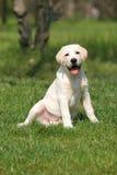 trawy labradora szczeniaka obsiadanie Fotografia Stock