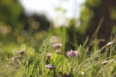 Trawy natura makro- Zdjęcia Stock