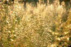 Trawy okwitnięcie Fotografia Stock